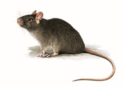 """Da wikipedia: """"Rattus (Fischer, 1803) è un genere di roditori della famiglia dei Muridae, conosciuti comunemente con il nome di ratti[1] o, più popolarmente, pantegane. Il genere comprende due specie cosmopolite e commensali dell'uomo: il ratto nero e il ratto norvegese (detto anche ratto delle chiaviche o surmolotto)."""""""